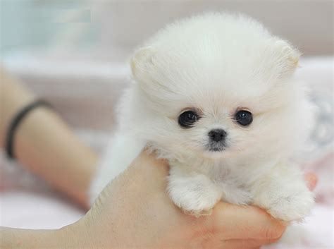 royal teacup puppies chanel 3 from royal teacup puppies in houston tx 77049