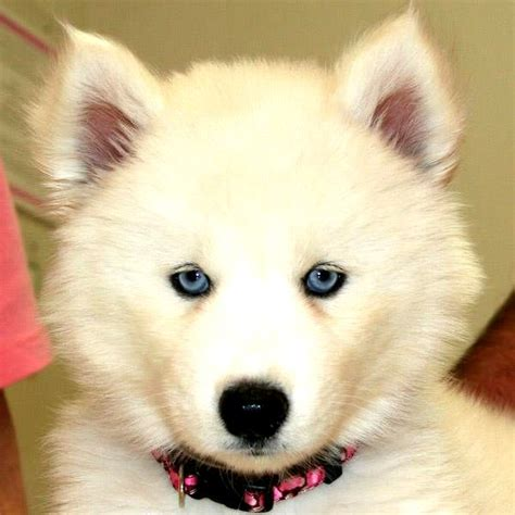 white husky puppies with blue white siberian husky blue photo happy heaven