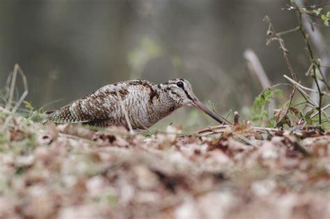 cucinare la beccaccia guida alla caccia selvaggina da piuma agrodolce