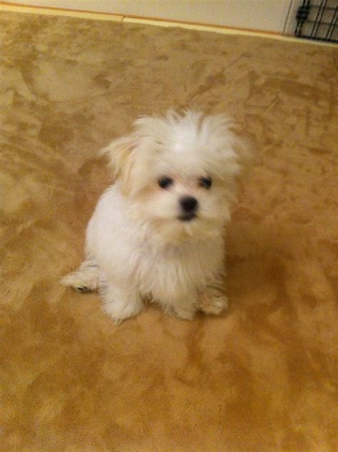 syracuse puppies for sale 1000 ideas about maltese puppies on maltese maltese dogs and maltese
