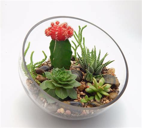amazon succulents amazon com succulent and grafted cactus large half moon