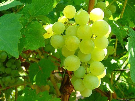 Table Grapes by The Menu The Fabulous Table Grapes Of 1 The Raisin Chasselas De Moissac Aoc