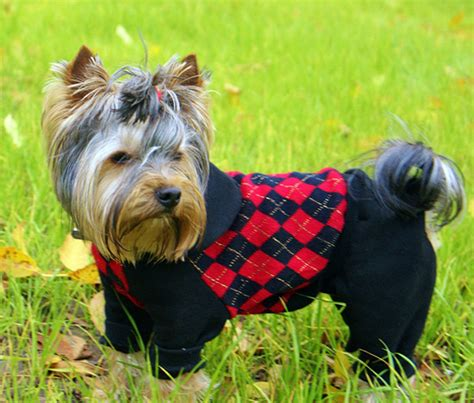 accessories for yorkies dress up your pup better with yorkie clothes and accessories