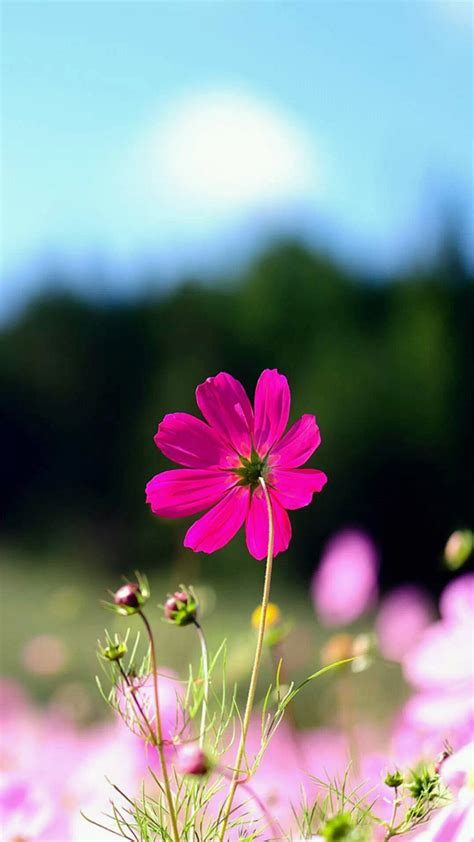 wallpaper flower untuk android spring purple flower field bokeh android wallpaper free