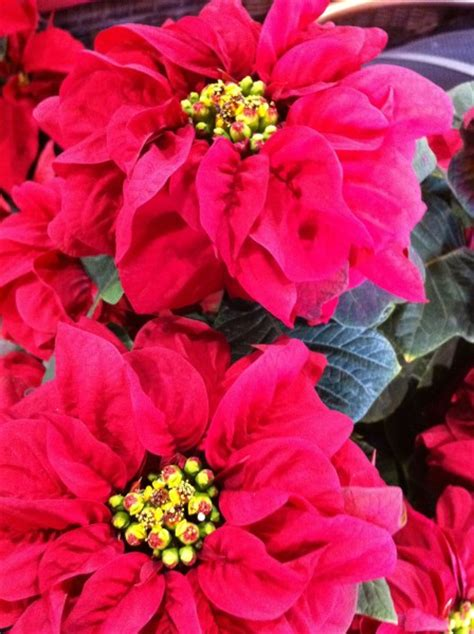 poinsettias from the paul ecke ranch in encinitas
