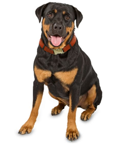 rottweiler rescue shelter rottweiler puppies dogs for adoption