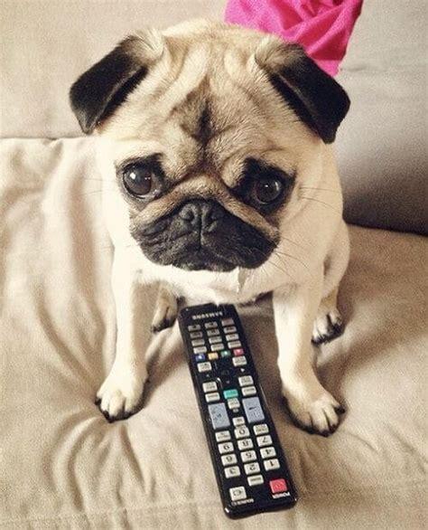 anjing pug karakter perawatan dan profil anjing pug okdogi