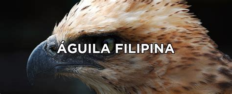 el aguila filipina  causas  su extincion