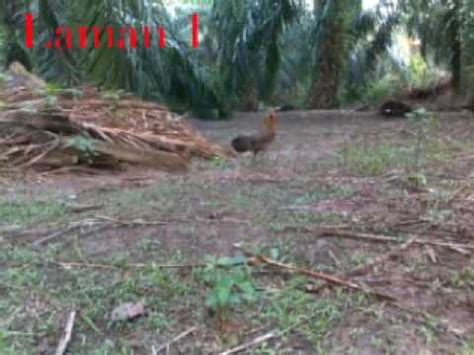 Anakan Ayam Hutan Betina ayam hutan pikat betina 69