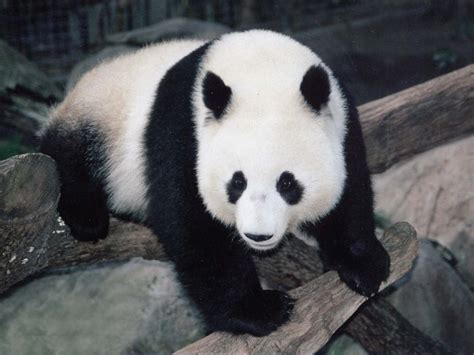 www panda panda 1024x768 wallpapers panda 1024x768 wallpapers