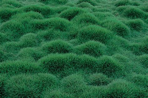 Floor Bedding by Zoysia Tenuifolia Sperling Nursery Amp Gift Shop