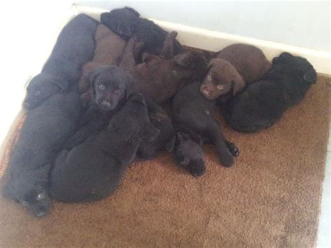 black puppies for sale black labrador puppies for adoption quotes