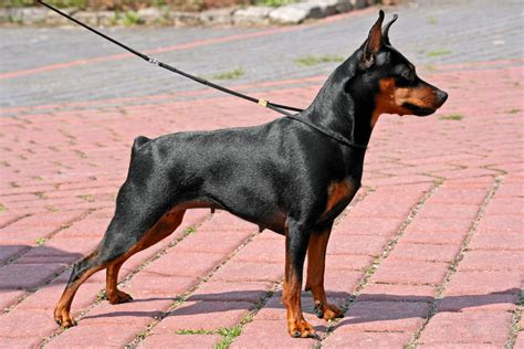 mini pinscher get to the miniature pinscher hummingbird of dogs