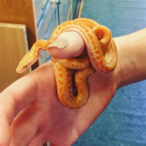 african house snake albino african house snake st albans hertfordshire pets4homes