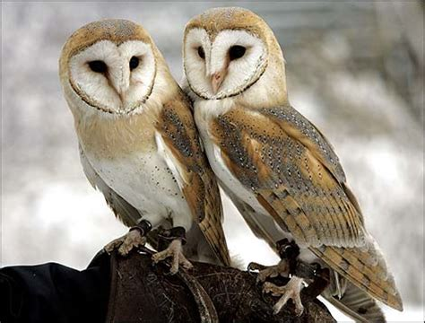 Owl Lover Barn Owl Animal Wildlife