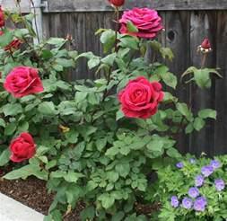 Rose Flowering Plant - plants amp flowers 187 hybrid tea roses