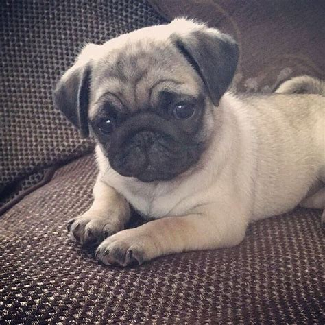 pug puppies cheap best 25 pugs ideas on
