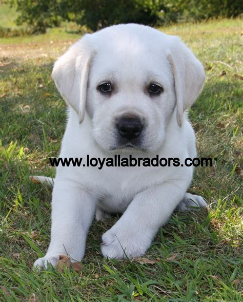 yellow lab puppies mn labrador retriever for sale akc white and yellow lab puppies breeds picture