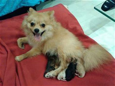 pomeranian gestation period pomeranian pregnancy pomeranian information center