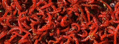 Pakan Ikan Cupang Selain Jentik Nyamuk jenis pakan alami ikan cupang budidaya cupang hias