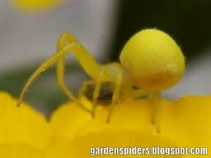 Yellow Spider Spiders In The Garden Bright Yellow Crab Spider