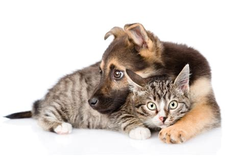 puppies and kittens together getting dogs and cats to live together bow wow meow pet insurance