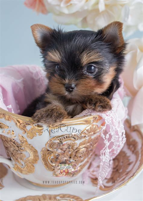 teacup yorkie florida adorable teacup yorkie puppies in south florida at teacups puppies teacups puppies