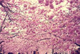 cherry blossoms cherry blossoms antiquitynow