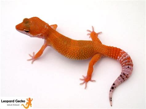Tomato Emerine 77 best leopard geckos images on leopard geckos lizards and snakes