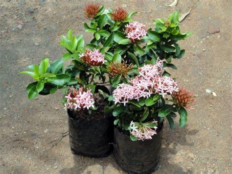 mini plants ixora mini plant