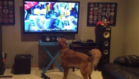 golden retriever season golden retriever can t even handle how excited he is for the nfl season