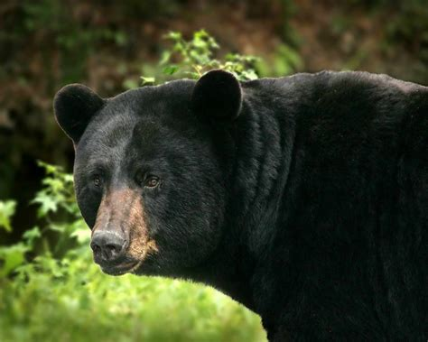 Black Bears 5 facts about black bears tennessee state parks