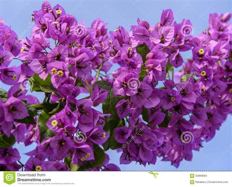 Bougenville Violet violet bougainvillea branch on the background of blue sky stock photo image 63889684