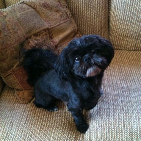black miniature shih tzu 12999 best shih tzu my images on
