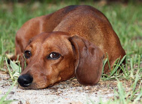 decke hund puppy dogs brown dachshund puppy
