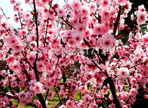 Chinese Apricot Tree Promotion Online Shopping For