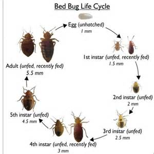 bed bug wings bed bugs search bed bugs fleas and ticks