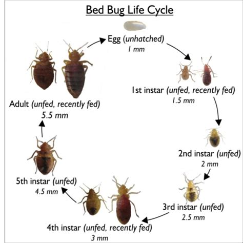 bed bug vs tick bed bugs google search bed bugs fleas and ticks