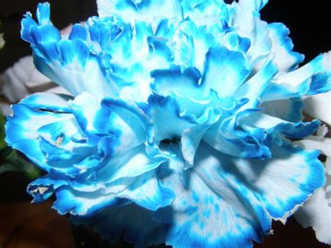 color changing carnations color changing carnations recipe food