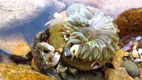 anemone eating bird crab and sea anemone doovi
