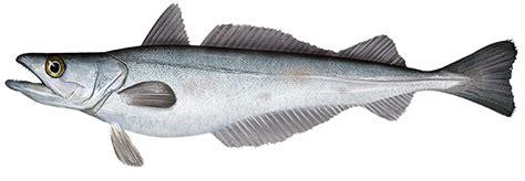 silver hake - /animals/aquatic/fish/H/hake/silver_hake.png ...