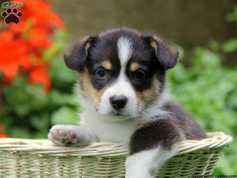 cardigan corgi puppies for sale in pa 24 best images about corgi on corgi mix puppies