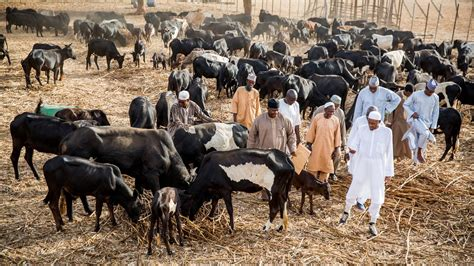 working cattle ranches in south africa ranches won t work fulani s are the least capable cattle
