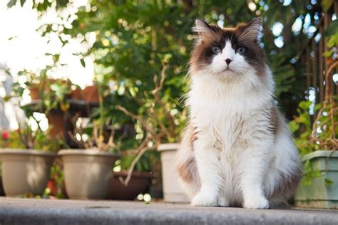 sweetest breeds hair cat breeds these 5 popular breeds are in the spotlight tinpaw