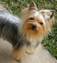 yorkie pics with hair yorkie hair cuts on pinterest yorkie yorkshire terrier
