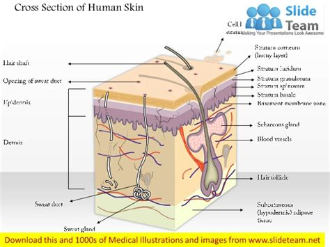 human skin cross section cross section of human skin medical images for power point