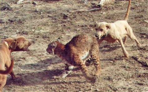 Rel Laci 60cm bullmastiff vs lince vermelho