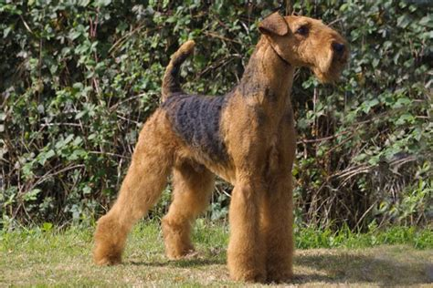 airedale puppies airedale terrier puppies for sale from reputable breeders