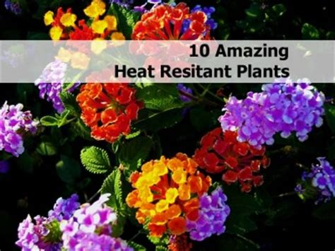 Heat Tolerant Flowers For Planters 10 amazing heat resistant plants