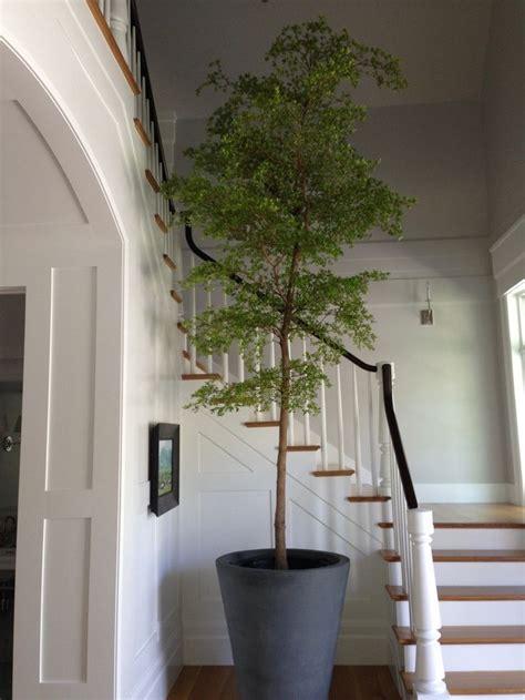 indoor house tree indoor olive bucida buceras tree swanson dining